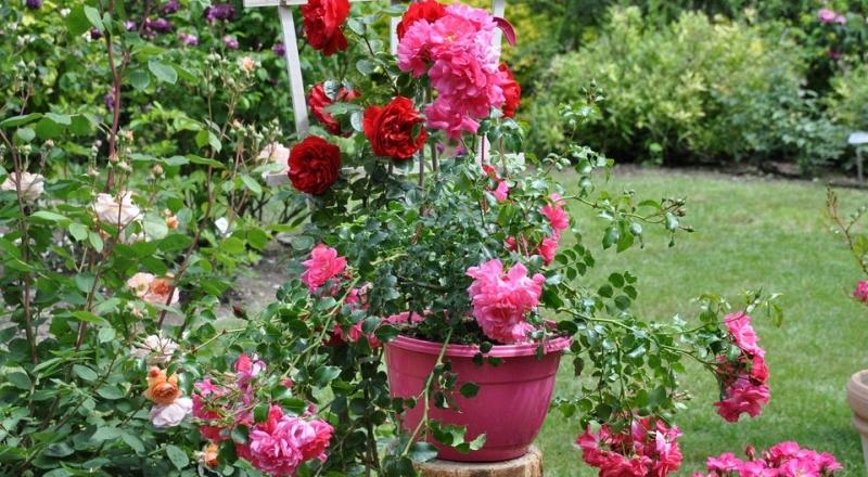 roze ze szkolki roz kwitnace w ogrodzie